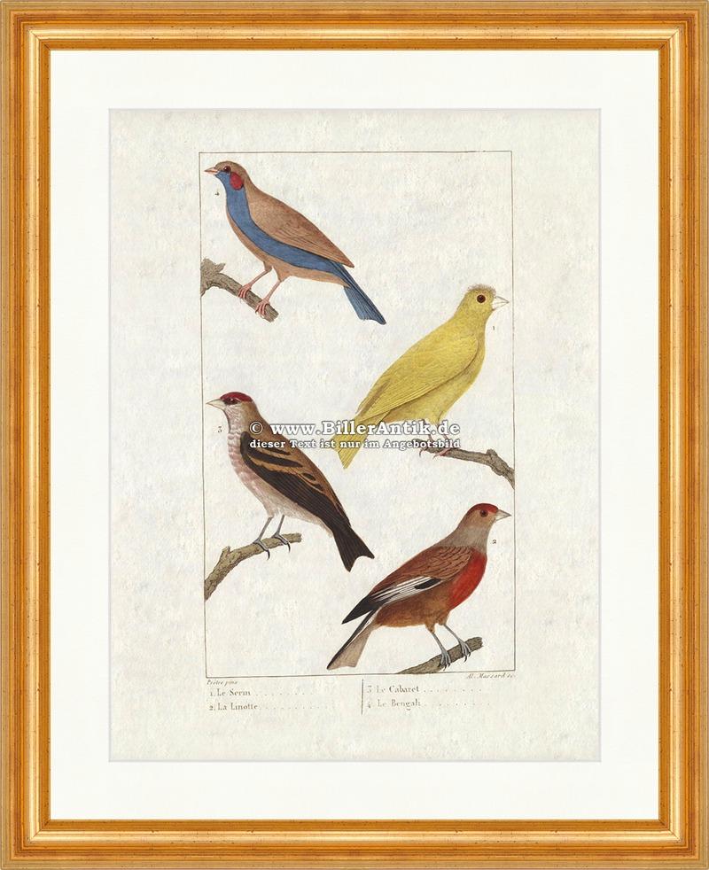 kanarienvogel bluth nfling prachtfink sperlingsv gel singv gel zeisig buffon 174 ebay. Black Bedroom Furniture Sets. Home Design Ideas