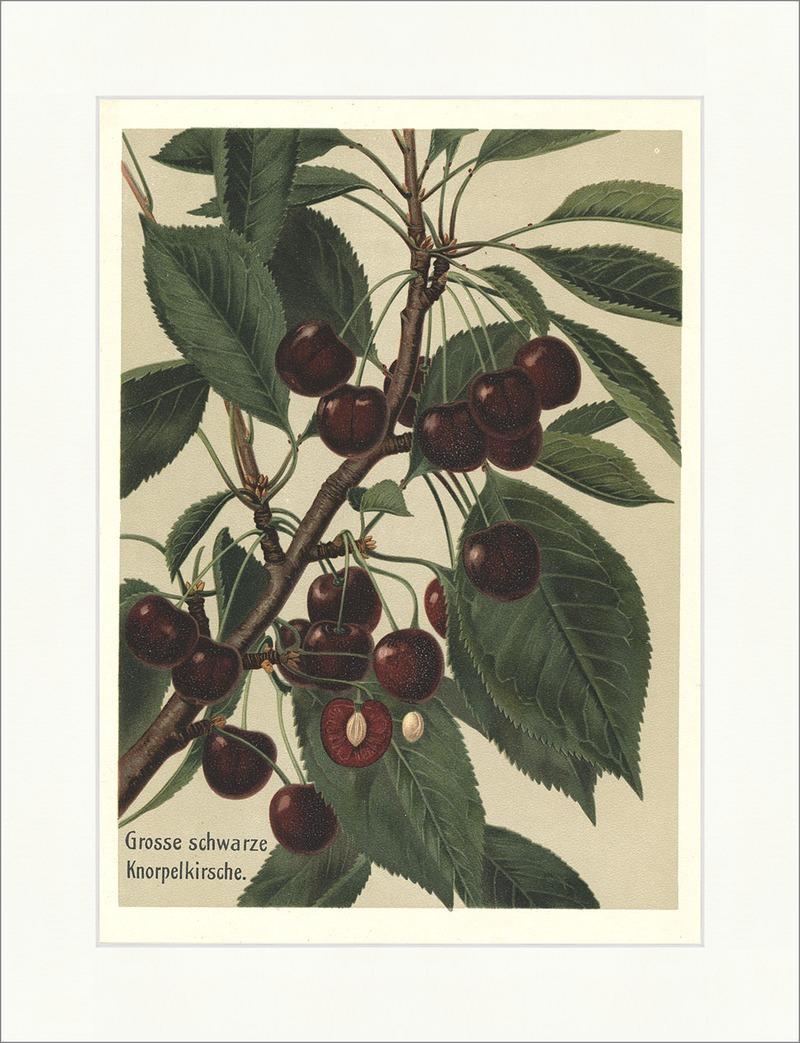 grosse schwarze knorpelkirsche kirschbaum kernobst pomologie obstsorten 35 billerantik. Black Bedroom Furniture Sets. Home Design Ideas