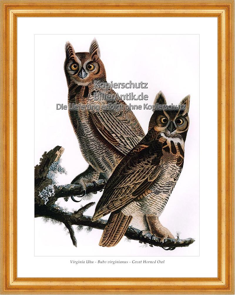 Virginia Uhu Bubo virginianus Great Horned Owl Eulen Uhus Vögel ...