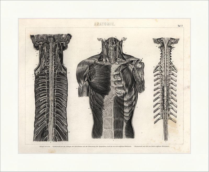 Rückenmark Spinalnerven Wirbelsäule Rumpf Brockhaus Bilder Atlas ...