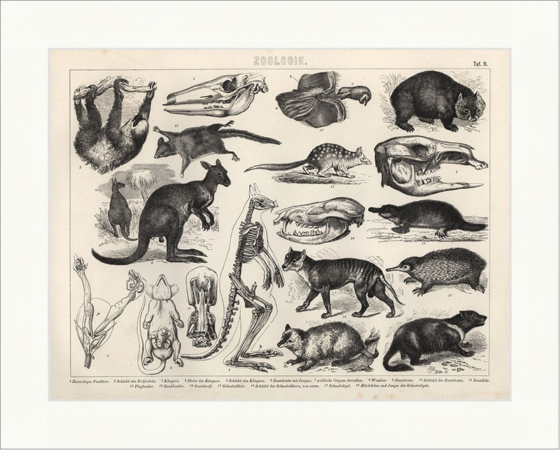 Faultier Schnabeltier Känguru Skelet Wombat Brockhaus Bilder Atlas ...