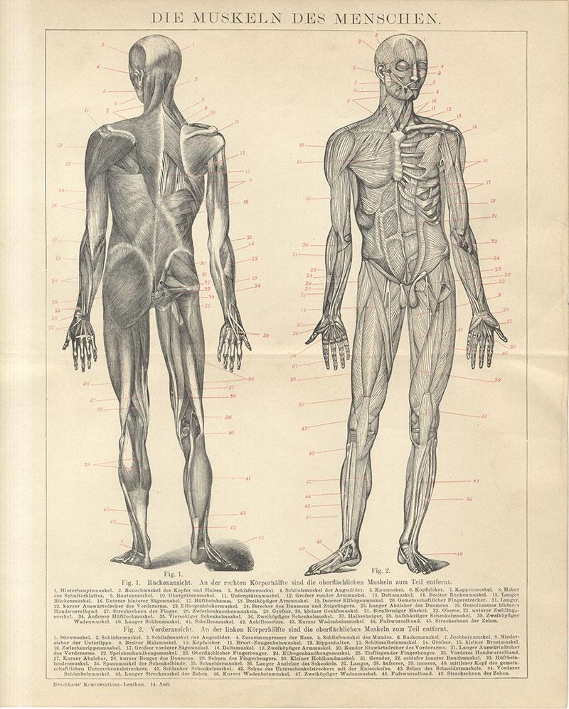 Die Muskeln des Menschen Bauchmuskel Kopfnicker Schläfenmuskel ...