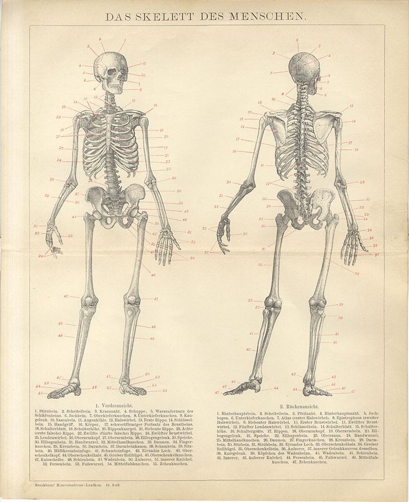 Das Skelett des Menschen Scheitelbein Ellbogengelenk Zehenknochen ...