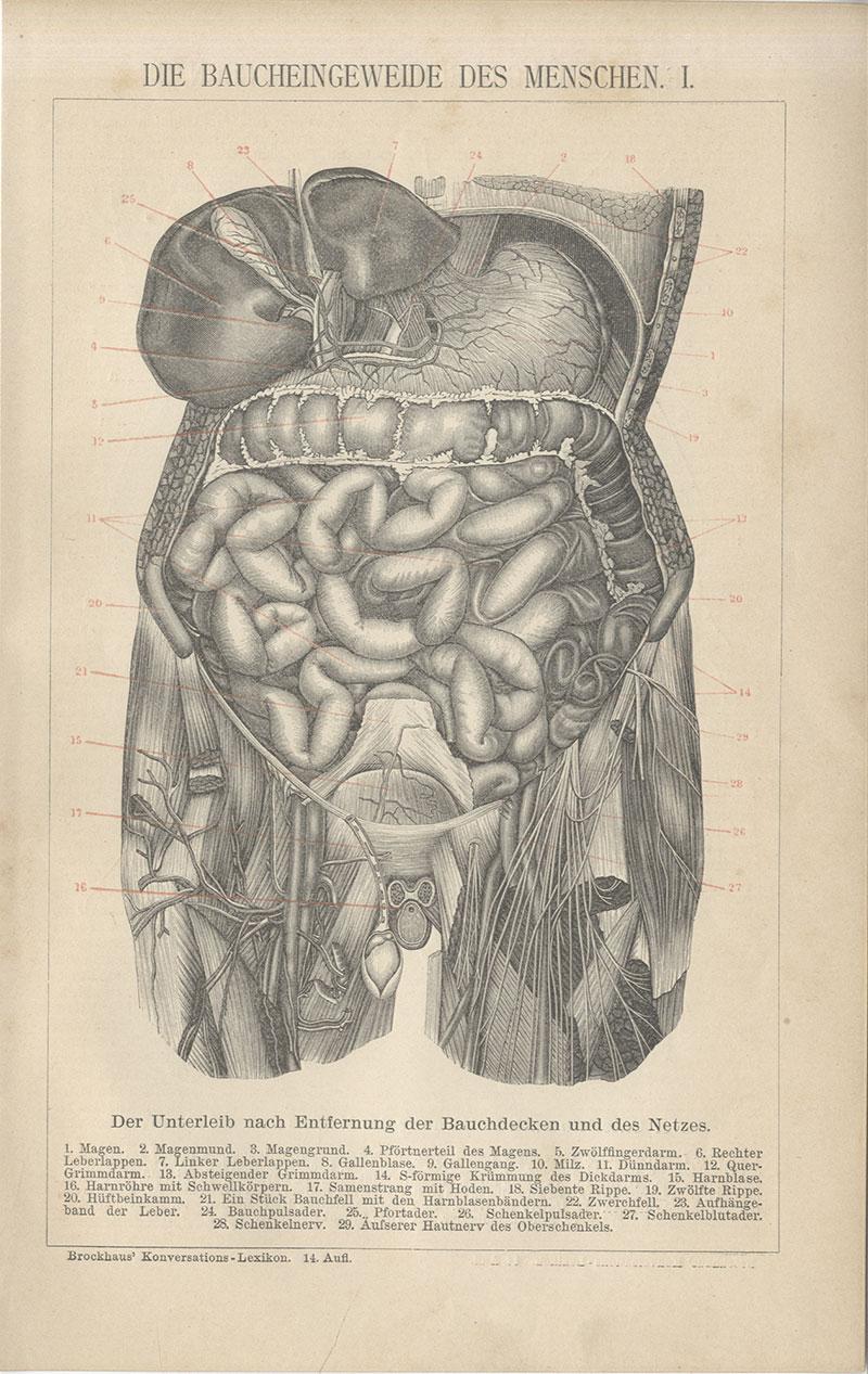 Baucheingeweide des Menschen Magen Bauchdecke Darm Leberlappen ...
