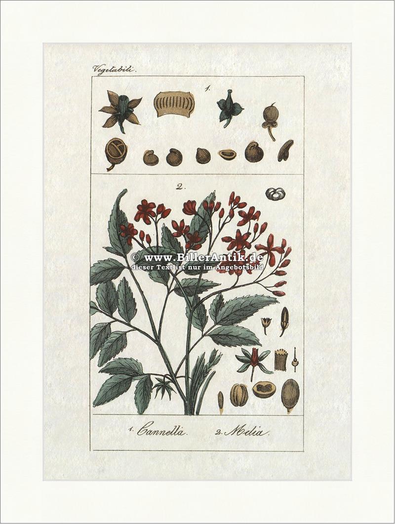 Zimtrindenbaum Canella Canellaceae Bedecktsamer Gefäßpflanzen Buffon ...