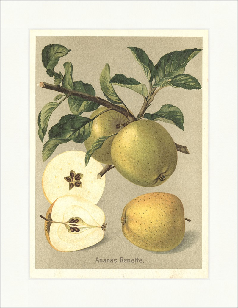 Ananas Renette Apfel Tafelapfel Pomologie Apfelsorten Äpfel ...