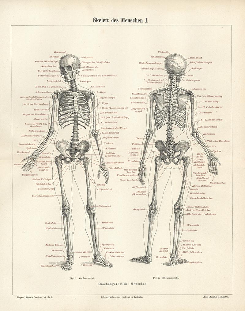 Skelett des Menschen I Knochengerüst Sprungbein Hüfte Stirnbein Elle ...