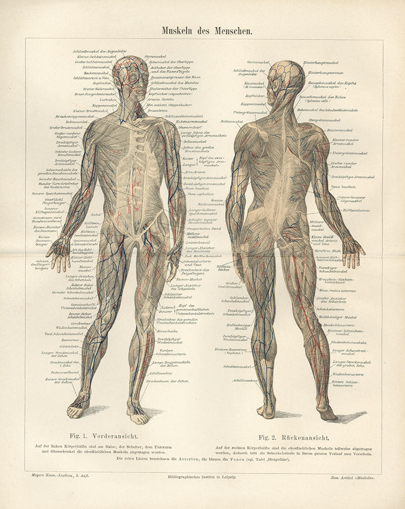 Muskeln des Menschen Arterien Venen Körper Original Deltamuskel ...