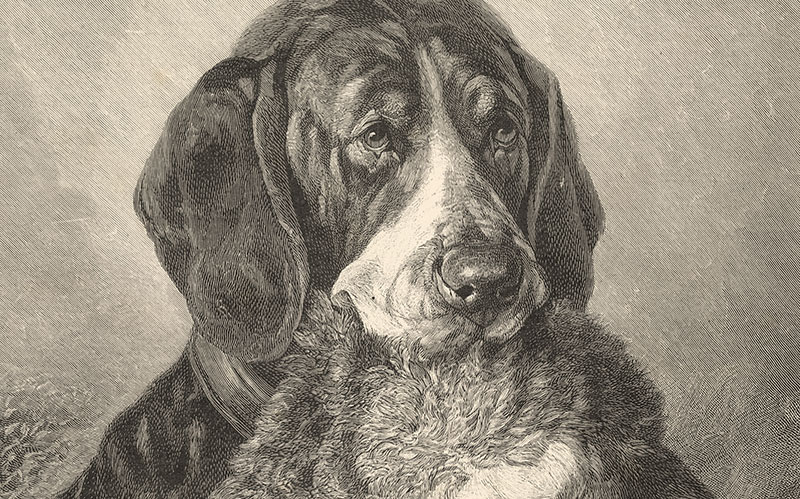 Glatthaariger Vorstehhund mit einem Hasen Jagdhund Pointer Welt der Tiere 30